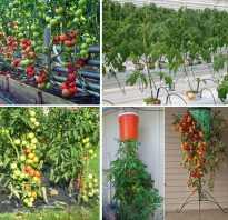 Выращивание томатов: как правильно выращивать помидоры, уход за растениями