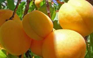 Абрикос десертный: описание сорта, фото, видео
