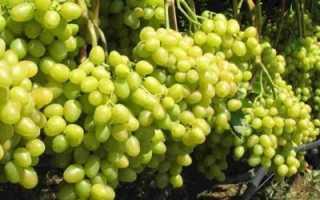 Обрезка винограда летом когда нужно ли обрезать как правильно