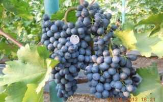 Виноград сорт изумруд описание сорта
