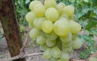 Виноград антоний великий описание сорта фото отзывы