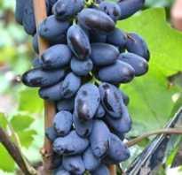Виноград «Байконур»: описание сорта, отзывы фото и видео