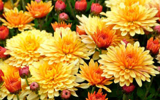 Размножение хризантемы осенью в домашних условиях весной
