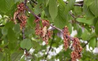 Почему сохнут ветки и листья вишни после цветения: что делать, болезнь, причина