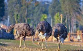 Сколько весит страус взрослый, сколько ве?