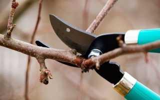 Когда обрезать абрикос весной или осенью как правильно