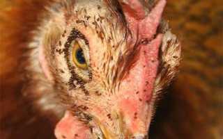 Как бороться с куриными блохами: лечение, народный метод