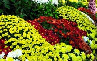 Пересадка хризантемы осенью на другое место после покупки