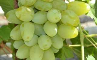 Виноград бажена описание сорта
