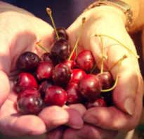 Уход за вишней летом выращивание после сбора урожая в июле