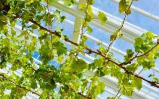 Как укрывать виноград в теплице на зиму окучивание полное укрытие