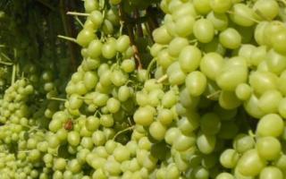 Виноград Кеша Талисман описание сорта посадка и уход обрезка выращивание