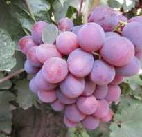 Виноград «Низина»: описание сорта, фото