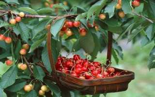 На какой год после посадки должна плодоносить вишня и расстояние между деревьями