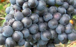 Виноград Памяти Домбковской (ЧБЗ): описание сорта, фото, отзывы