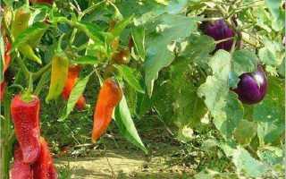 Можно ли сажать вместе перец и баклажаны в открытом грунте и в теплице