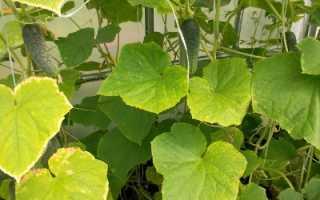 Недостаток питания определяем по листьям