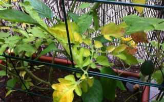 Почему листья у помидор желтеют листья: причины и способы лечения