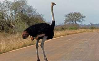 Страус самая крупная птица в мире сколько живет лет