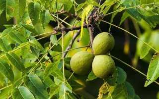 Дерево черный орех как сажают где растет что такое уход