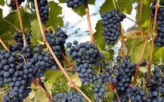 Виноград Регент: описание с фото, характеристики сорта, рекомендации по уходу и разведению