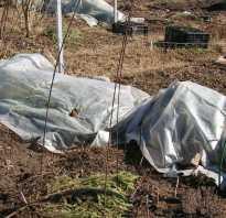Когда открывать виноград после зимовки? Когда сделать это после зимы в средней полосе России, как раскрывать весной и при какой температуре