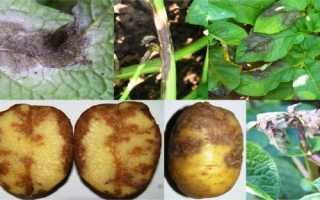 Фитофтороз картофеля: фото, описание и лечение