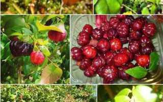 Суринамская вишня Диво дивное выращивание