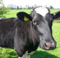 Кетоз коров история болезни лечение симптомы