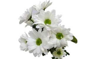 Хризантема Бакарди кустовая белая описание сорта розовая