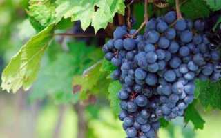 Топ сортов винограда раннего срока созревания