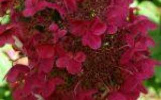 Гортензия метельчатая вимс ред фото описание зимостойкость — Все про огород