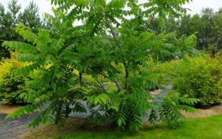 Маньчжурский орех посадка и уход дерева как выглядит фото
