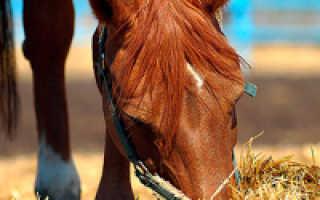 Правила и техника кормления лошадей, их суточный рацион и содержание, уход и разведение животных