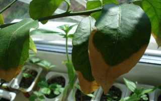 Почему у лимона сохнут листья по краям как в домашних условиях сохранить их