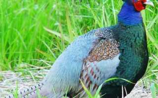 Обзор пород фазанов с фотографиями