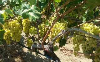 Виноград Столетие описание сорта характеристики посадка и выращивание саженца правила ухода