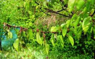 У абрикоса вянут листья что делать причина желтых листьев