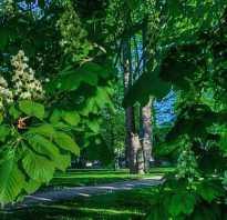 Как вырастить каштан из ореха в домашних условиях как посадить осенью