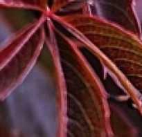 Виноград «Девичий»: размножение черенками весной