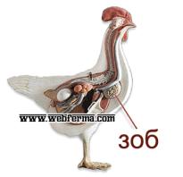 Закупорка и воспаление зоба у кур симптомы лечение болезни