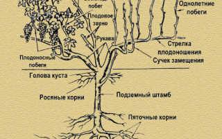 Виноград: обрезка летом, уход, обрезка после цветения