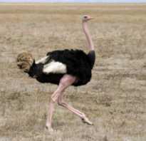 Африканский страус: описание и характеристика, подвиды птицы и где она обитает