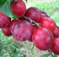 Алыча крупноплодная сорта саженцы селекция