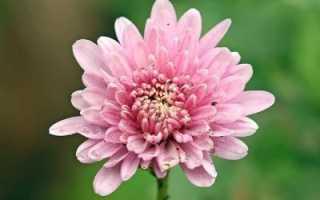 Почему не цветет хризантема в саду комнатная как заставить