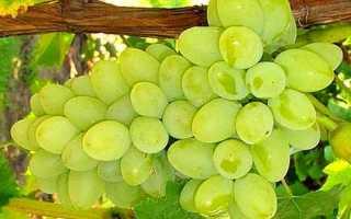 Виноград сорт фаворит описание