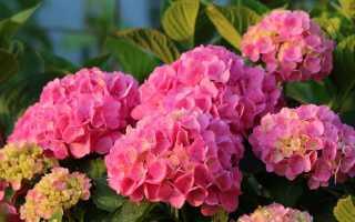 Гортензия розовая крупнолистная посадка и уход в открытом грунте