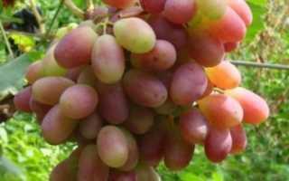 Виноград Шахиня Ирана — описание и фото сорта