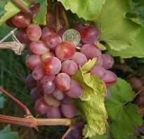 Виноград азалия описание сорта фото отзывы, фрумоаса албэ