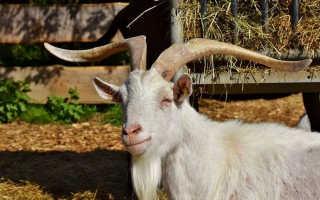 Как кастрировать козла: способы, как сделать, осложнения